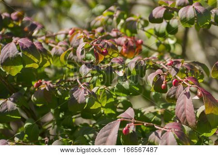 Tiny autumn berries on wild plant, red and green leaves