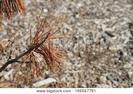 Brown pine needle branch against woodchip background