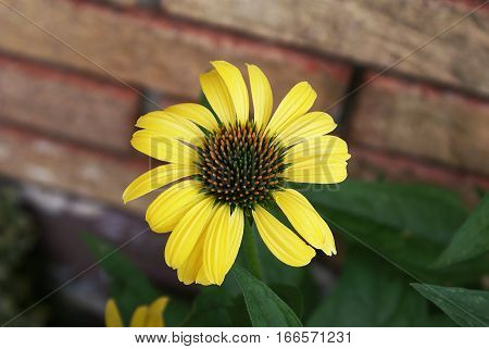Warm yellow flower with detailed orange and green center in front of soft focus brick background