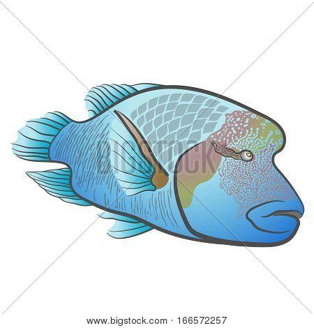 Cheilinus undulatus. Napoleon fish. Humphead wrasse. Red sea fish