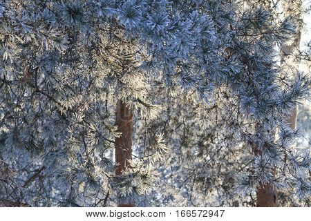Needles Of Pine Trees In The Morning Sun Lit Frost