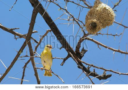 Weaver bird sitting on a branch of acacia near its nest