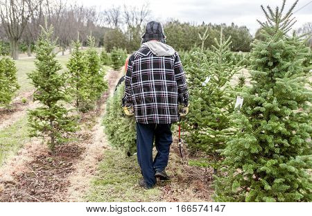 Father and son carrying Christmas tree after cutting it down on farm dad holding saw