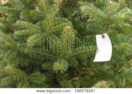 Holiday Christmas pine tree on tree farm outdoors with white blank tag hanging from branch