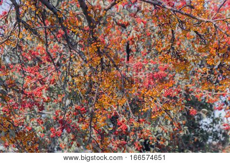 Trees filled to overflowing with tiny orange and red berries on their branches in fall