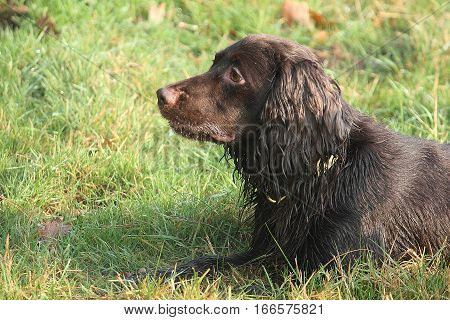 Handsome Chocolate Working Type Cocker Spaniel Pet Gundog