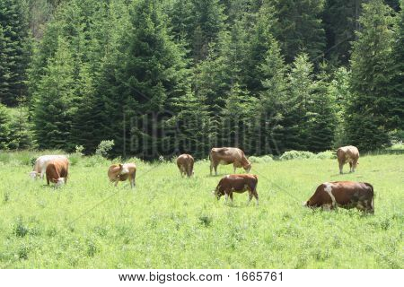 Many Cows Eating Grass