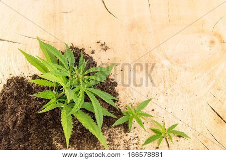 Marijuana Plant Growing Out Of Fertile Land
