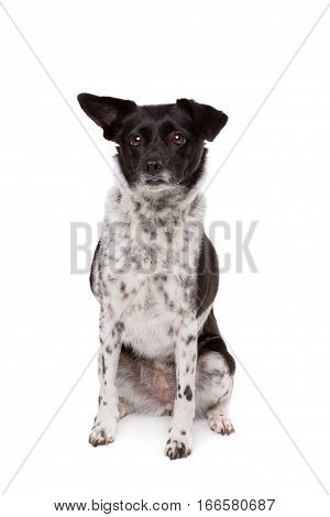 Black And White Mixed Breed Dog