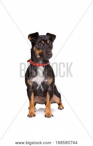 Black And Tan Jack Russel Terrier