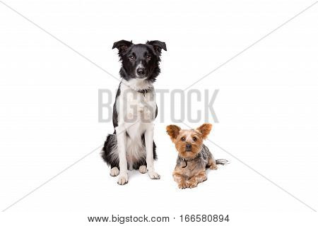 Small And Big Dog Looking At Camera