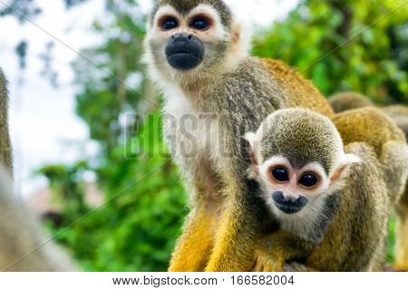 Two squirrel monkeys in the Amazon near Leticia Colombia