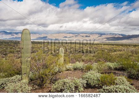 Saguaro cactus plant stands against storm clouds over Santa Catalina Mountains near Tucson Arizona