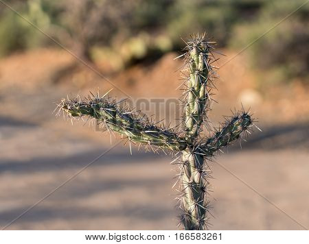 Macro image of the three arms of a cholla cactus isolated in desert showing sharp spiky branches