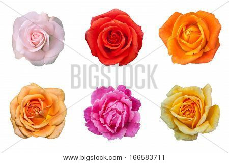 Different color rose flower isolated on white background
