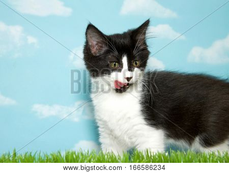 Black and white medium haired kitten standing in grass licking lips looking to viewers right. Blue background sky with clouds. Copy Space