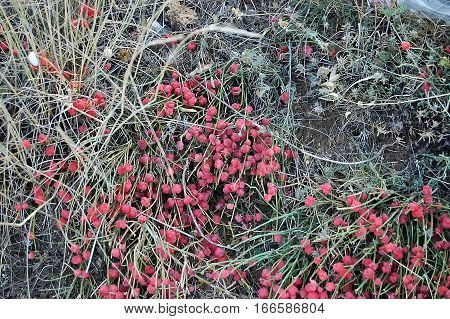 The Red Ephedra distachya on gray grass