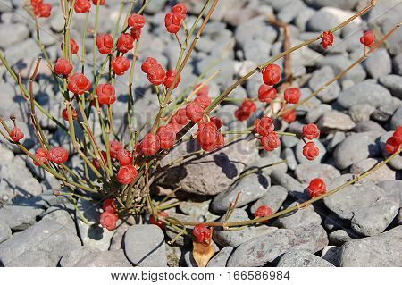 The Red Ephedra distachya on gray stones