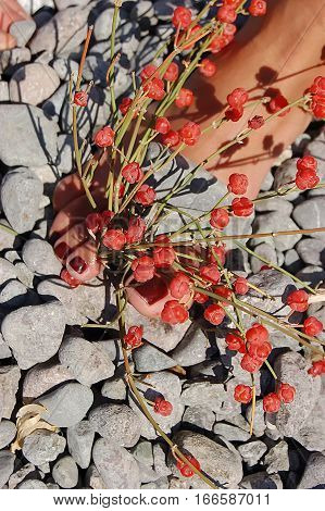 Red Ephedra distachya on stones and foot
