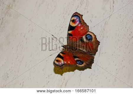 The beautiful butterfly and a peacock eye