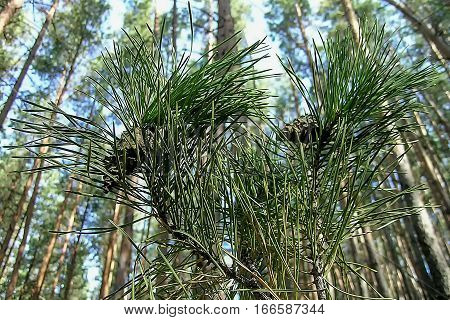 Pine needles cones tall pines sky background