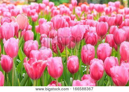 Colorful tulips. tulips in spring colourful tulip pink color