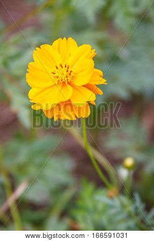Yellow Cosmos flower blooming,  Cosmos flower background