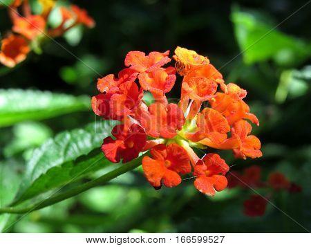 Lantana flower blossom orange blooming in garden hedge