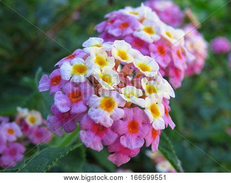 Lantana flower blossom garden hedge pink yellow