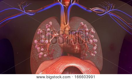The human lungs flank the heart and great vessels in the chest cavity.