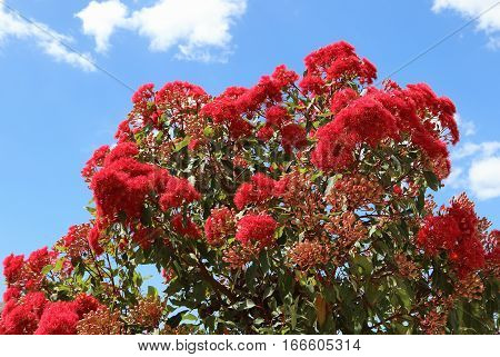 Decorative Flowering Eucalyptus in bloom with Gum-nuts over blue sky