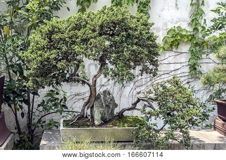 Bonsai Garden in SuZhouChina.Bonsai is the art of one of the fine tradition of the Chinese nation.