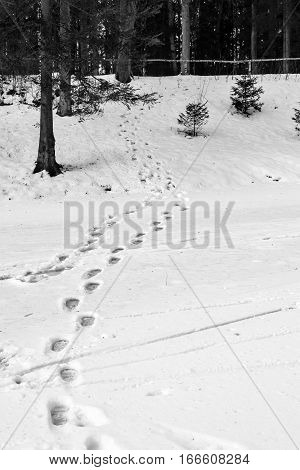 winter landscape and traces on snow on a glade in the forest park of monochrome tone