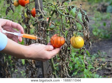 Scientist injecting chemicals into red tomato GMO. Concept for chemical GMO gm food. Genetically modified food advantages and disadvantages.