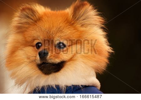 The wistful spitz, dog, puppy is looking into the distance with a serious look. This portarit made in warm tone