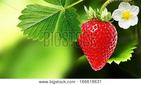 Innovative cultivation of large-fruited strawberry all year round.Strawberry