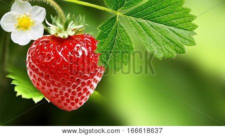 Innovative cultivation of large-fruited strawberry all year round.Strawberry business