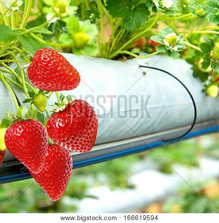 Cultivation of large-fruited strawberry all year round.Strawberry business