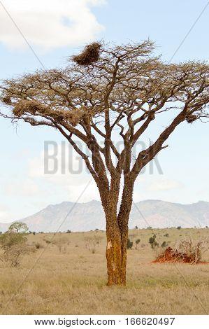 Acacia in the savanna of West Tsavo Park in Kenya