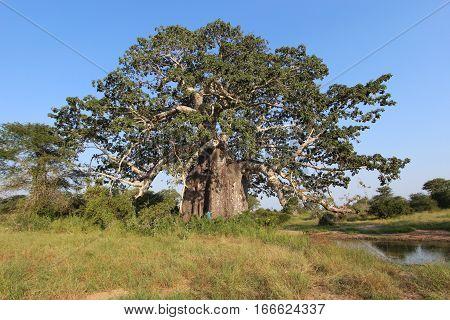 Big and wonderful Baobab at the Kissama National Park - Angola, Africa