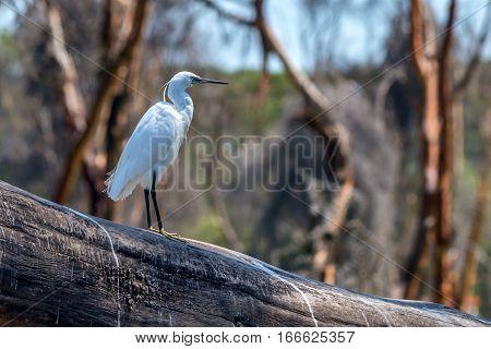 Western reef egret or Egretta gularis at Lake Naivasha, Kenya