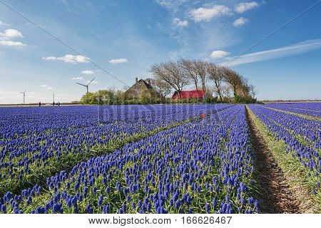 Blue Muscari field in the province of North Holland Netherlands.
