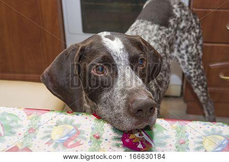 Kurzhaar hunting dog a light brown color macro