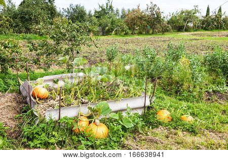 Orange pumpkins with big green leaves growing on the vegetable patch