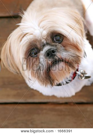Shih Tzu Looking Up