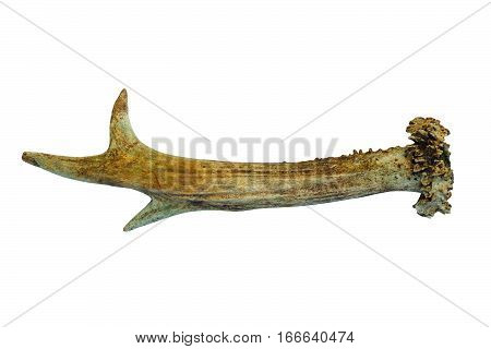 roebuck horn isolated over white background ( Capreolus )