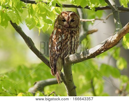 Tawny Owl in the sun surrounded by light green leaves