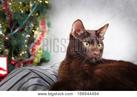 Brown Havana siamese - oriental cat at the christmas tree background, close up view