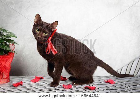 Brown Havana siamese - oriental cat, close up view
