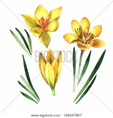 Wildflower rose crocuses in a watercolor style isolated. Full name of the plant: crocuses, saffron. Aquarelle wild flower for background, texture, wrapper pattern, frame or border.